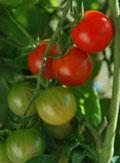 Tomatenpflanzen bewässern