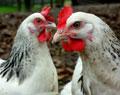 Suppenhuhn für Hühnersuppe