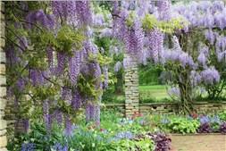 Blauregen im Garten